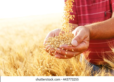 Close up of senior farmers hands holding and examining grains of wheat.