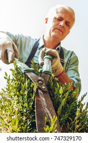 Close up of senior gardener cutting a tree in a garden, using shears, wearing professional outfit. Focused on work.