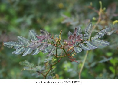 Close up of Sensitive plant (Mimosa pudica) tree in the forest,Mimosa pudica plant background