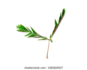 Close up of sensitive plant, sleepy plant or the touch-me-not tree (Mimosa pudica) on white background.
