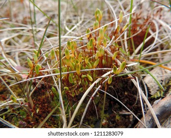 Close up of the seta or capsule stalks of Polytrichum commune (also known as common haircap, great golden maidenhair, great goldilocks, common haircap moss, or common hair moss). Poland, Europe