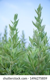 Close up of several wormwood wormwood grown under the blue sky and white clouds in the Dragon Boat Festival