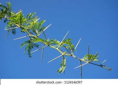 Close up of sharp, long thorns and green leaves on the Namibian, African, acacia tree with a bright blue sky background.