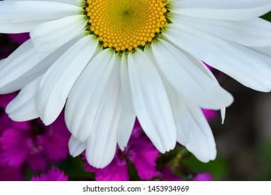 Close up of a Shasta Daisy over Purple Wildflowers