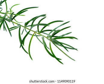 Close up of Shatavari plant (Asparagus racemosus Willd) on white background.