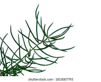Close up of Shatavari plant (Asparagus racemosus Willd) on white background.