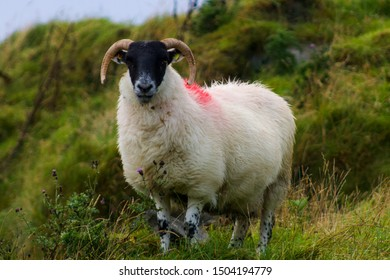 Close up of Sheep in Donegal, Ireland