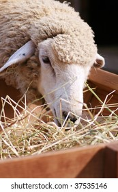 Close up of a sheep eating hay on a farm