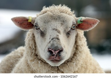 Close up of a sheep face