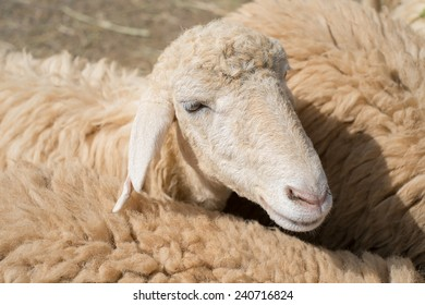 Close up of Sheep face, Shallow depth of field