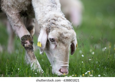 Close up of sheep grazing fresh grass on meadow in spring. Organic livestock breeding