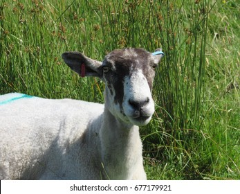 Close up of a sheep sitting down in a field in England