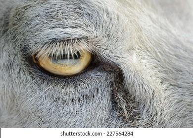 Close up of a sheep's eye.