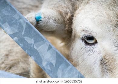 Close up of a sheep's eye, peeping through a metal gate.