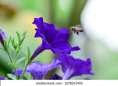Close up shoot of honey bee flying on purple petunia flower