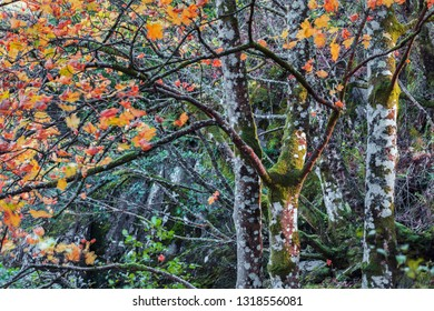 Close up shoot of mossy trunks of maple trees with yellow-red leaves at autumn.