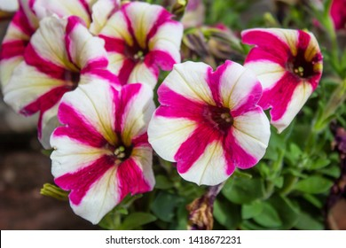 Close up shoot of Petunia amore flower. Purple and white color.