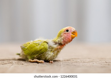 Close up shor of beautiful miniature Rosy faced lovebird chick playing and searching for feeding.