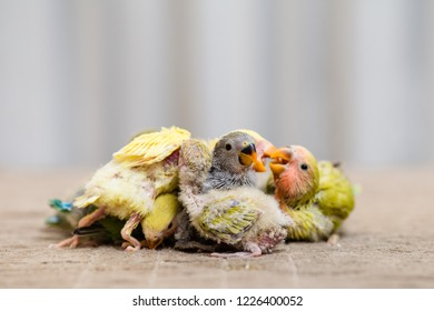 Close up shor of beautiful miniature Rosy faced lovebirds chicks playing and searching for feeding.