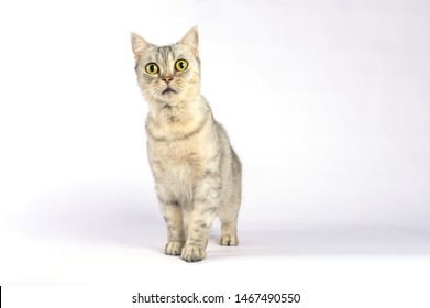 Close up Short hair cat head with shocking face and wide open eyes. Frighten or surprised cat when look at something.