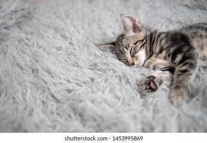 Close Up of Shorthaired Tabby Kitten Sleeping