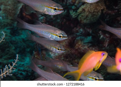 Close up of Short-tooth Cardinalfish -Goldbelly Cardinalfish (Ostorhinchus apogonoides) on the coral reef.