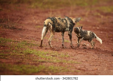 Close up shot  of African wild dog with puppy, typical social behavior and  greeting ceremony.
