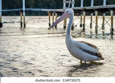 Close up shot of an Australian pelican Pelecanus conspicillatus at sunset in Australia