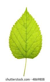 A close up shot of a backlit green leaf on white background.