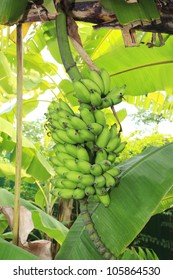 Close up shot of a Banana tree with a bunch of bananas.