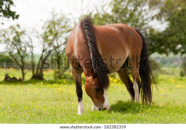 Close up shot of beautiful bay pony grazing in the Shropshire countryside.