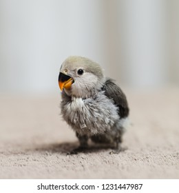 Close up shot of beautiful miniature Rosy faced lovebird chick playing and searching for feeding.