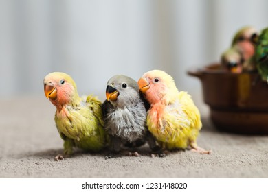 Close up shot of beautiful miniature Rosy faced lovebirds chicks playing and searching for feeding.