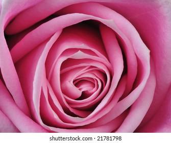 close up shot of a beautiful pink rose