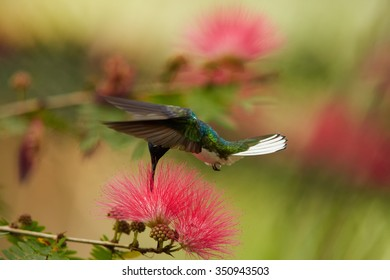 Close up shot of beautiful shining blue and white White-necked Jacobin Florisuga mellivora hovering and feeding from red flower of Albizia tree. Blurred  background, nice bokeh.