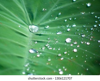 Close up shot of beautiful water drops on the leaf of elephant ears or Colocasia, plants that like warm and humidity.