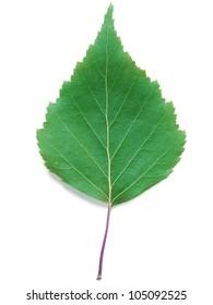 A close up shot of a birch leaf