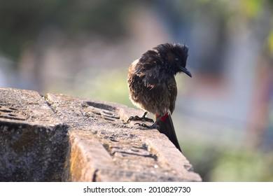 A close up shot for an black old world flycatcher bird sitting on stony brink