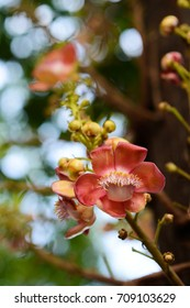A close up shot of blooming flower of a Cannonball tree (Couroupita biosensor,Lecythidaceae) with unblooming flowers and blurred background in Thailand