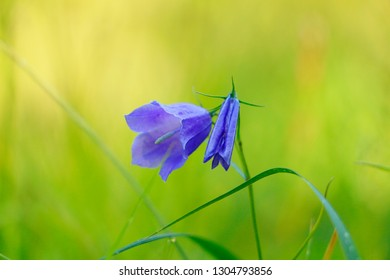 Close up shot of a blue bellflower (Campanula rotundifolia) with blurry green background