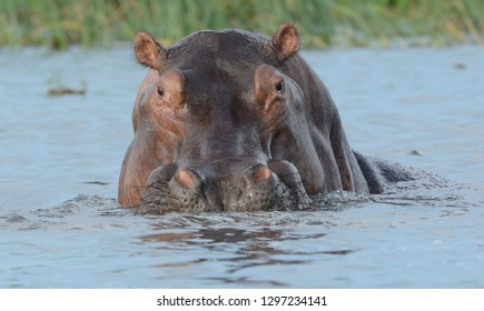 close up shot of bull hippo in water looking at camera.