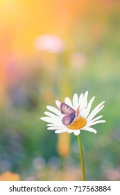 Close up shot of a butterfly on a daisy