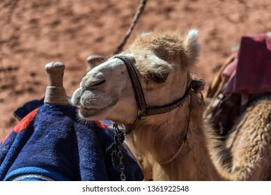 Close up shot of a camel