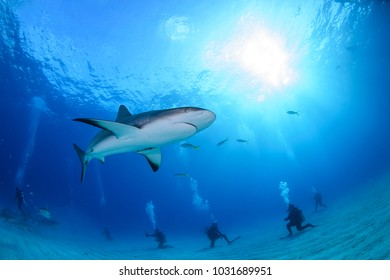 Close up Shot of Caribbean Reef Shark Swimming in Clear Waters of Bahamas