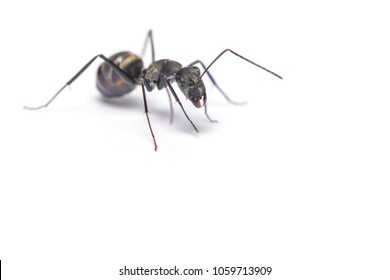 A close up shot of carpenter ant isolated on white background.