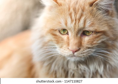 Close up shot of cat. Cute Cat with wood background. Ginger cat and green eyes on the ground in winter. Beautiful Red Cat with Yellow Eyes.
