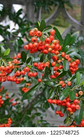 Close up shot of clusters of colorful, bright reddish orange berries on a pyracantha or firethorn bush in autumn