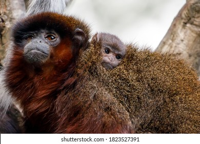 close up shot of cute coppery Titi monkeys (Callicebus cupreus)