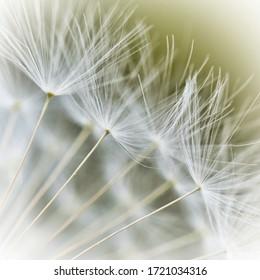 close up shot of dandelion seed