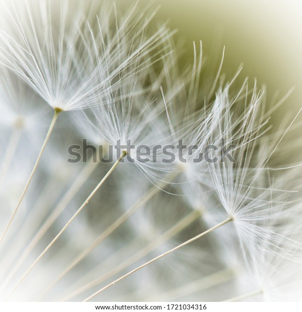 close-shot-dandelion-seed-600w-172103431